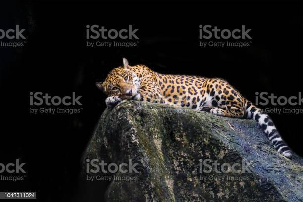 Leopard lying on a rock against a black background picture id1042311024?b=1&k=6&m=1042311024&s=612x612&h=cbmsqup3y88j7gil6xlc8b604zgp5xbcpv9tdd7w7fw=