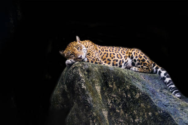 Leopard lying on a rock against a black background. Leopard lying on a rock against a black background. jaguar cat stock pictures, royalty-free photos & images