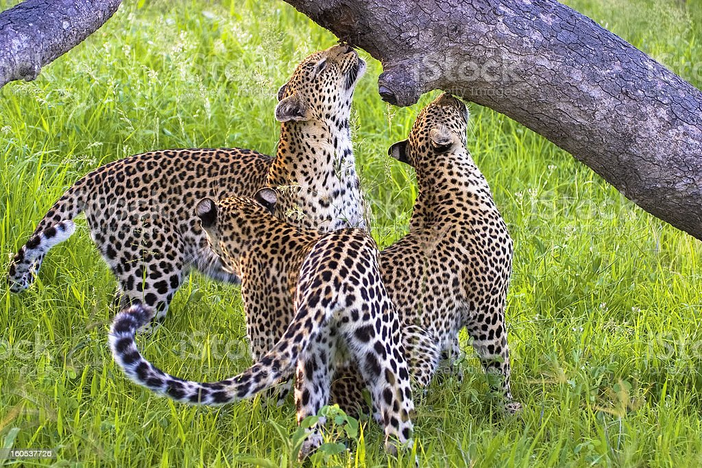 Leopard mother and cubs scent marking stock photo