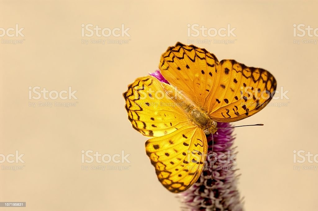 Leopard (Phalanta phalantha) of Singapore stock photo