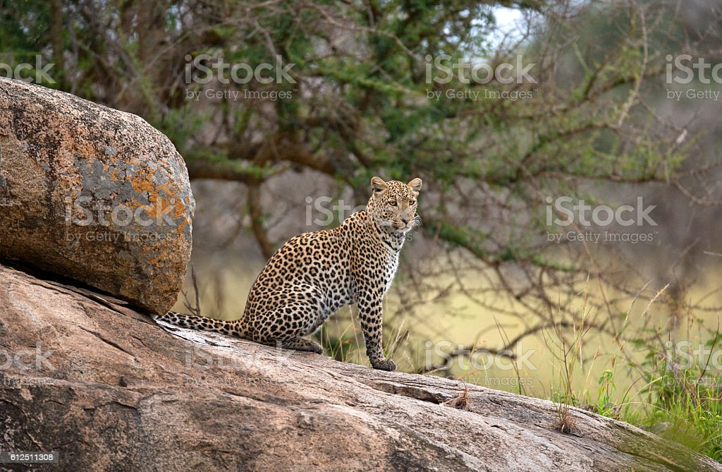 Leopard on a big rock. National Park. Kenya. stock photo