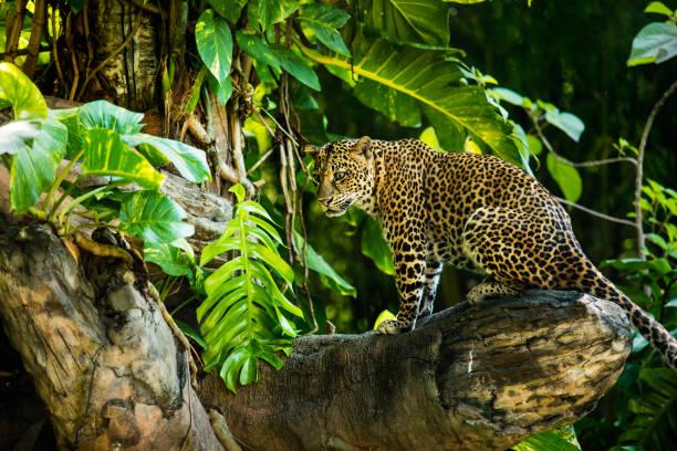 leopard auf einem ast eines großen baumes in der wilden lebensraum im laufe des tages über sonnenlicht - schwarzer puma stock-fotos und bilder
