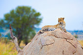 Leopard on a rock. Resting. In the wild in the Serengetti, Tanzanaia, Africa