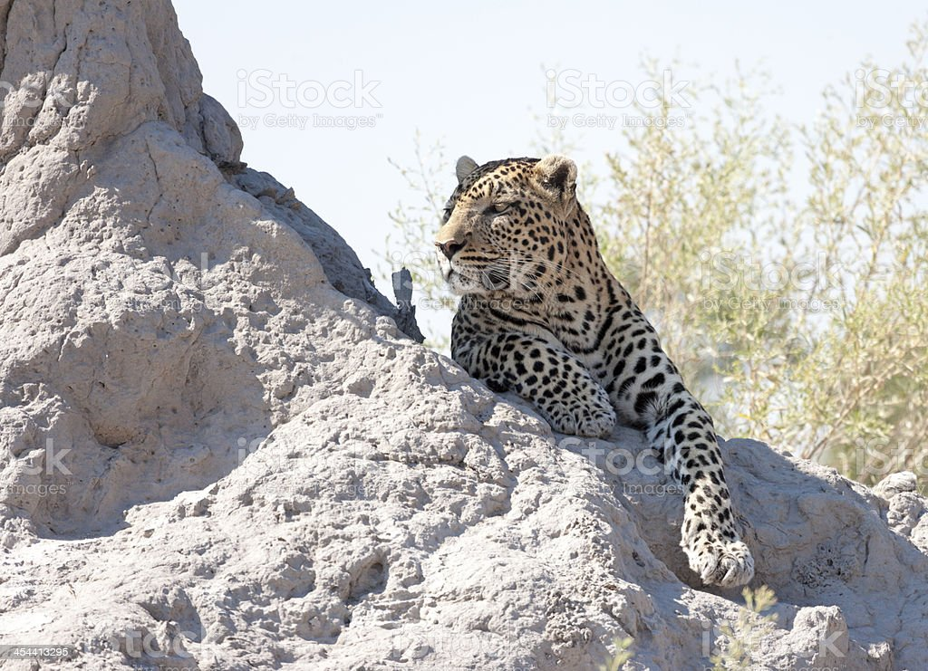 Leopard on a Termite Mound royalty-free stock photo