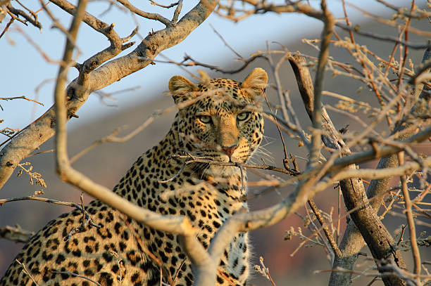 Leopard on a tree stock photo