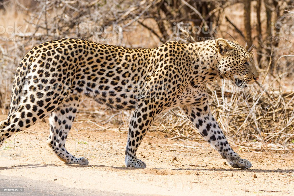 Leopard on the Road stock photo