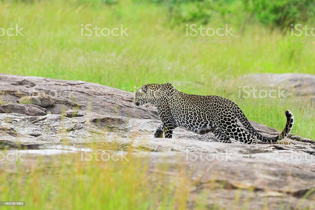Leopard - on the rock, side view, full body stock photo