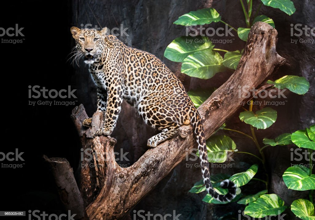 Leopard on the timber. zbiór zdjęć royalty-free