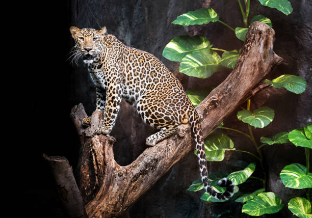 Leopard on the timber. Leopard on the timber in the natural environment of the zoo. jaguar cat stock pictures, royalty-free photos & images