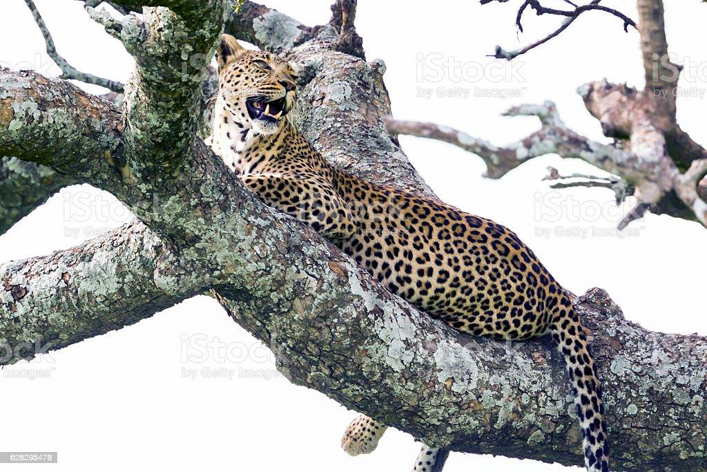 Leopard on the tree stock photo