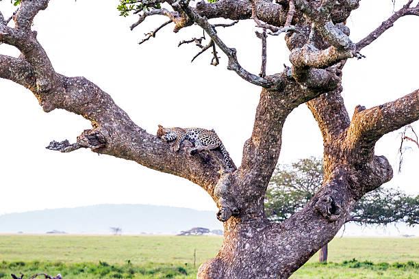 leopard auf dem baum - flecktarn stock-fotos und bilder