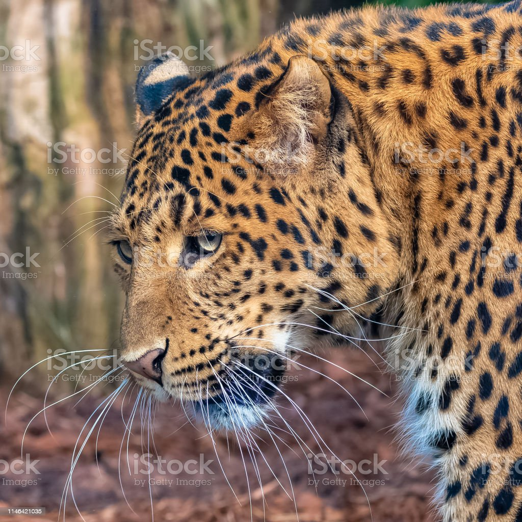 Leopard, panther stock photo