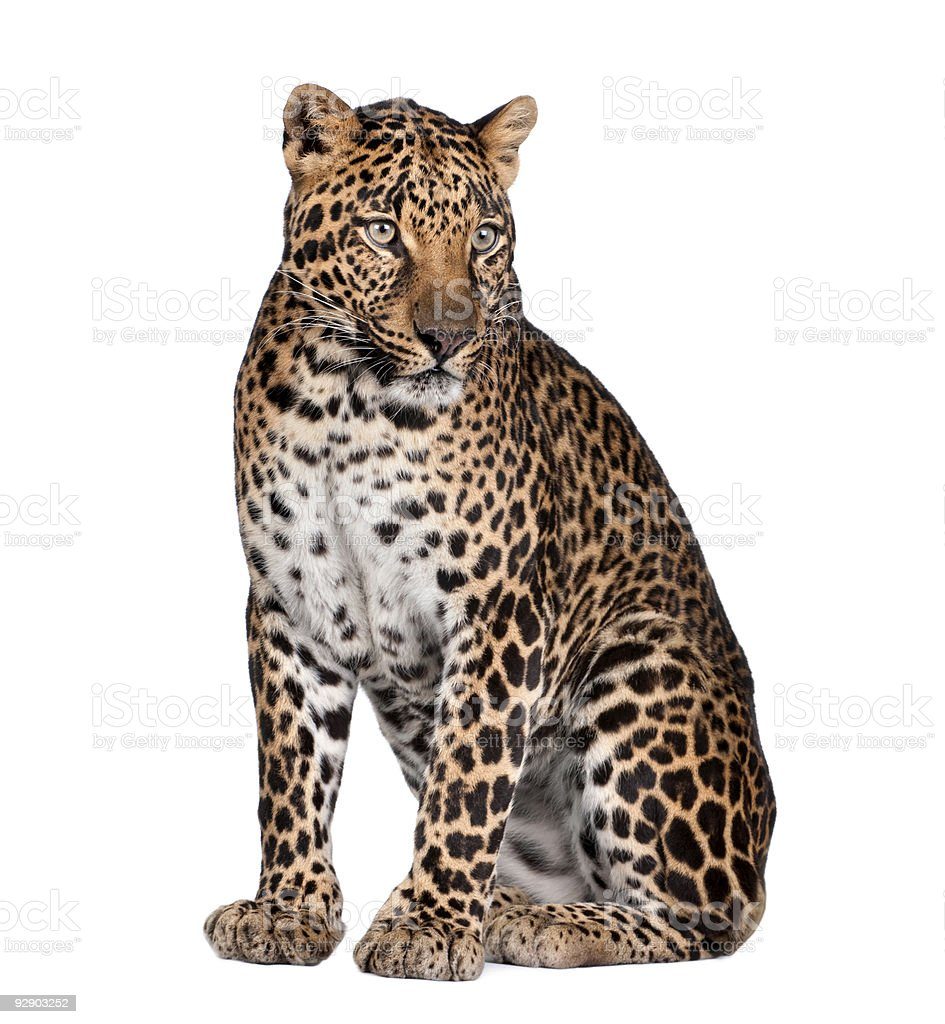 Leopard - Panthera pardus royalty-free stock photo