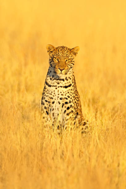 Leopard, Panthera pardus shortidgei, hidden portrait in the nice yellow grass. Big wild cat in the nature habitat: Sunny day in the savannah with leopard, Kafue, Zambia. Beautiful sun with animal. stock photo
