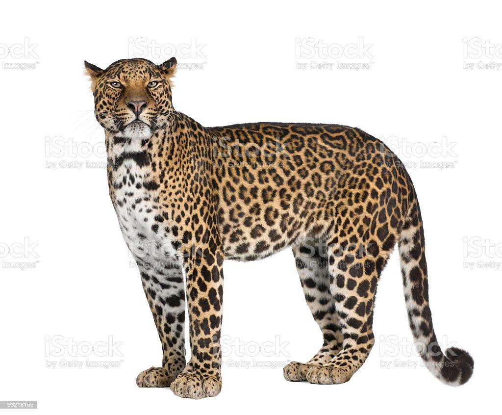 leopard, Panthera pardus, standing,side view, studio shot stock photo