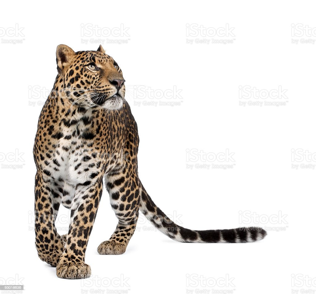 Leopard, Panthera pardus, walking and looking up stock photo