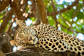 Leopard rests in tree