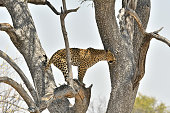 a leopard looks for prey from a tree in Southern Africa
