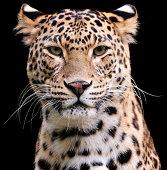 cheetah logo design vector