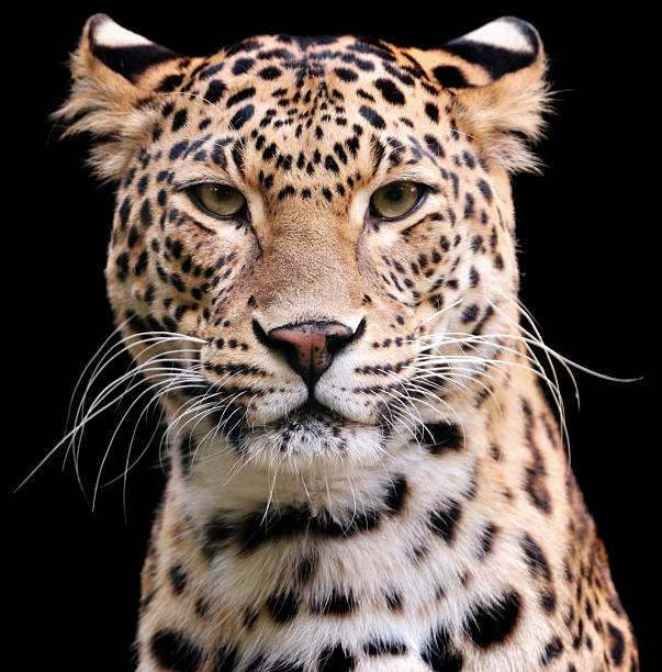 leopard - big cat stock pictures, royalty-free photos & images