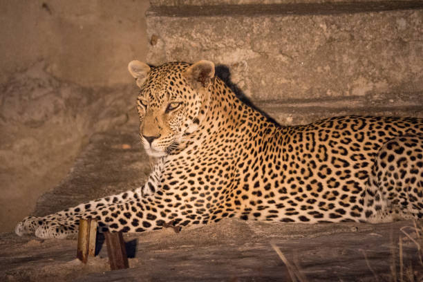 Leopard (Panthera pardus) Seen in Kruger National Park yala stock pictures, royalty-free photos & images