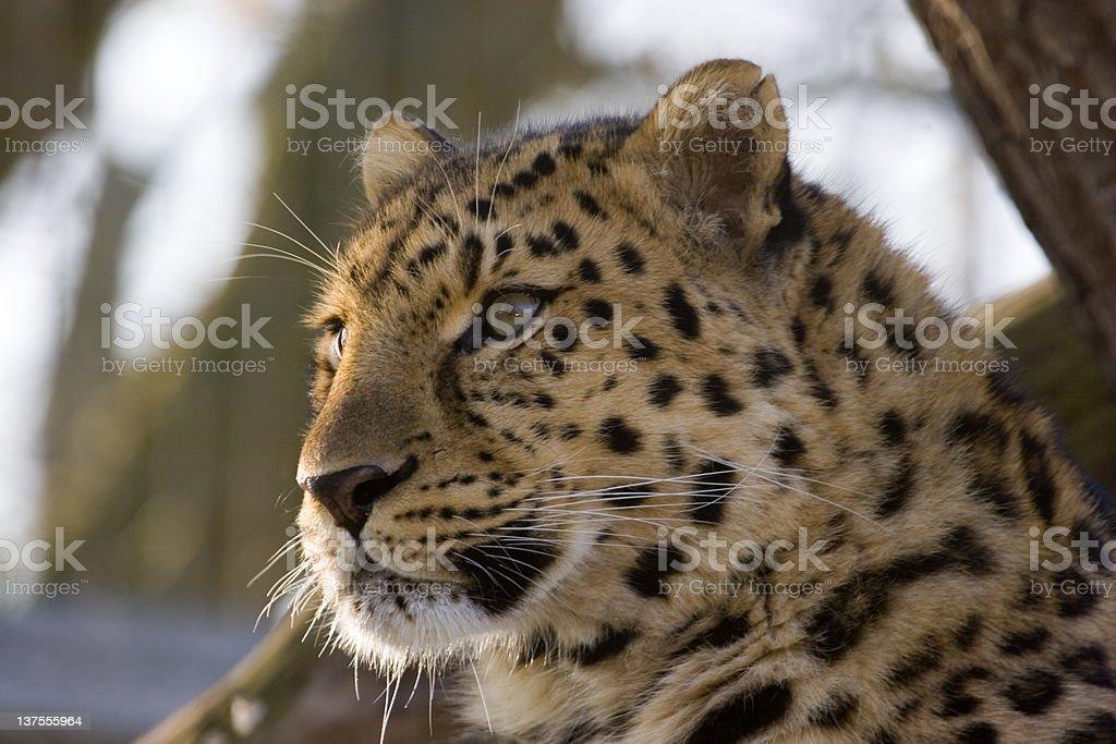 Leopard – Foto