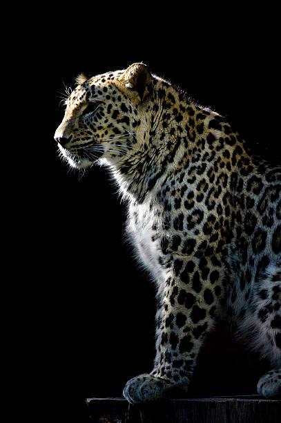 léopard. - panthere noir photos et images de collection