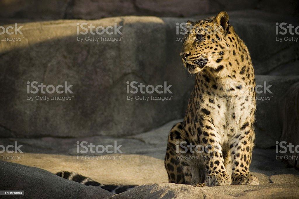 Leopard #1 stock photo