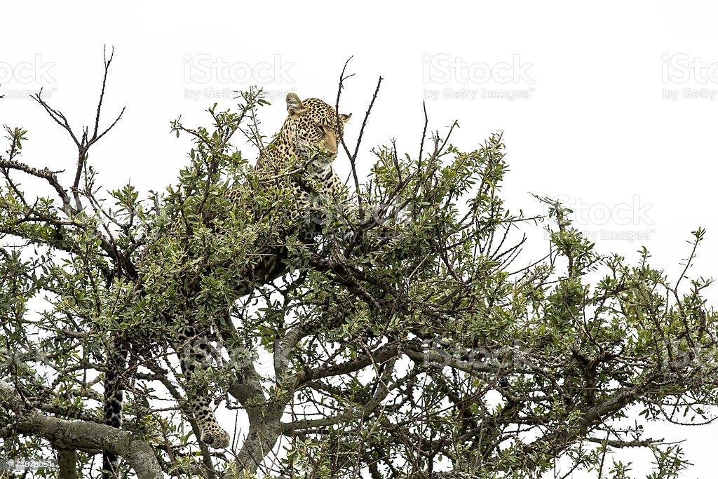 Leopard royalty-free stock photo