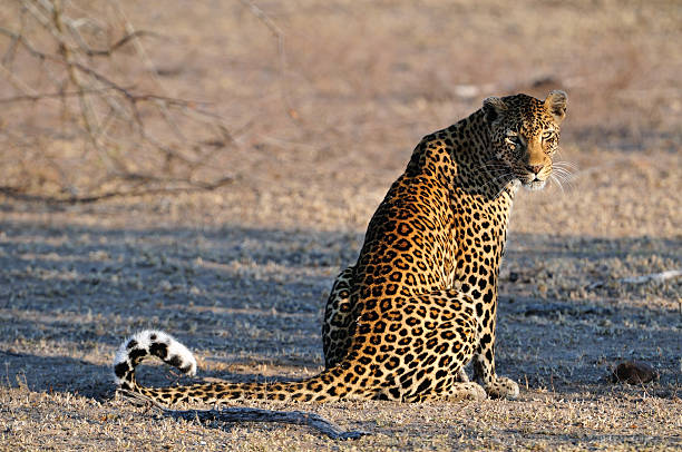Leopard Animals of the Kruger National Park transvaal province stock pictures, royalty-free photos & images