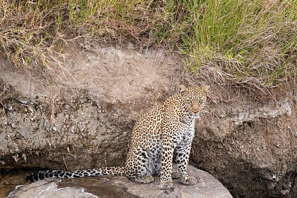 leopard - flecktarn stock-fotos und bilder