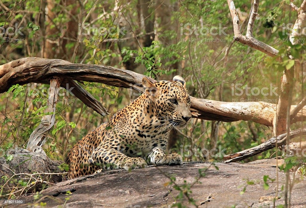 Leopard bildbanksfoto
