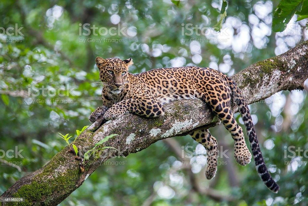 Leopard - Royalty-free 2015 Stock Photo