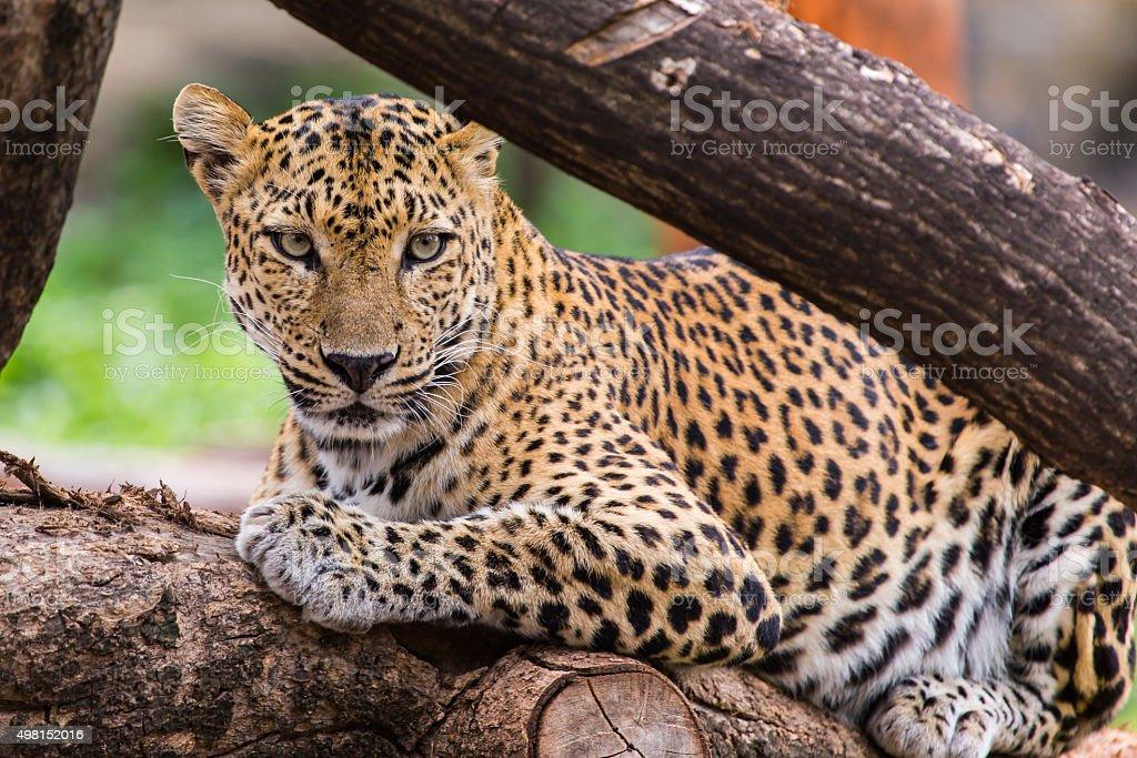 Leopard. – Foto