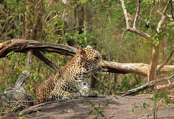 Leopard Sri Lankan Leopard (Panthera Pardus Kotiya) on a Stone in the Bush, Yala National Park, Sri Lanka yala stock pictures, royalty-free photos & images