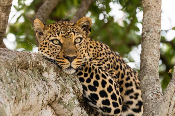 Leopardo - foto de stock