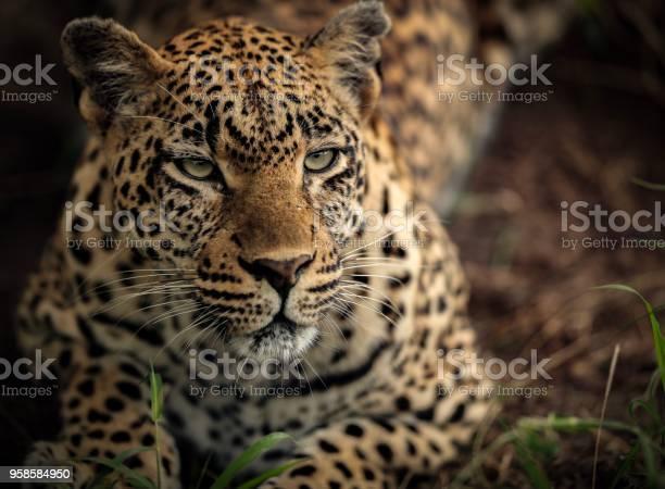 Leopard picture id958584950?b=1&k=6&m=958584950&s=612x612&h=sdpryrjdb1ojmhufv nwbmktkzigmz33kllq yhmowa=