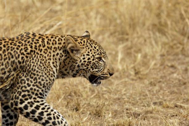 Leopard portrait, masai Mara stock photo