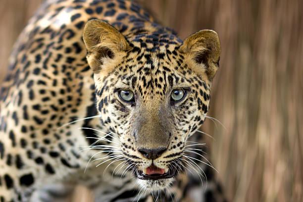 leopard porträt - schwarzer puma stock-fotos und bilder