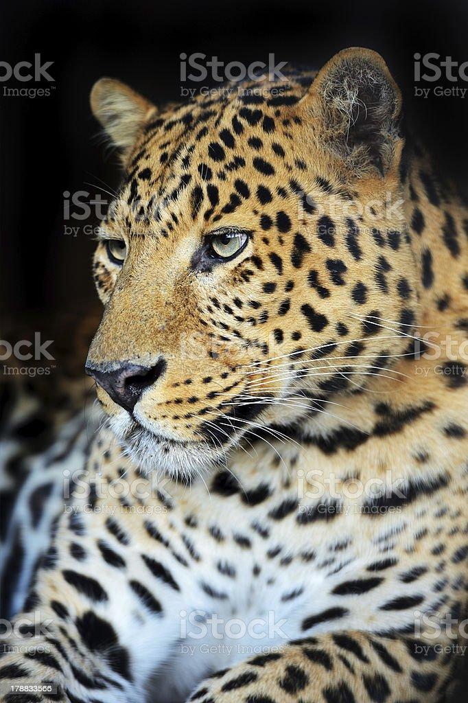 Leopard portrait royalty-free stock photo