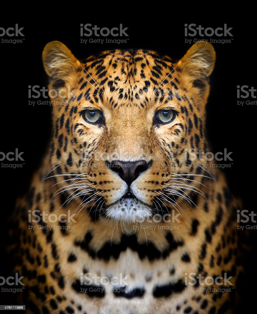 Royalty Free Leopard Pictures Images and Stock Photos iStock