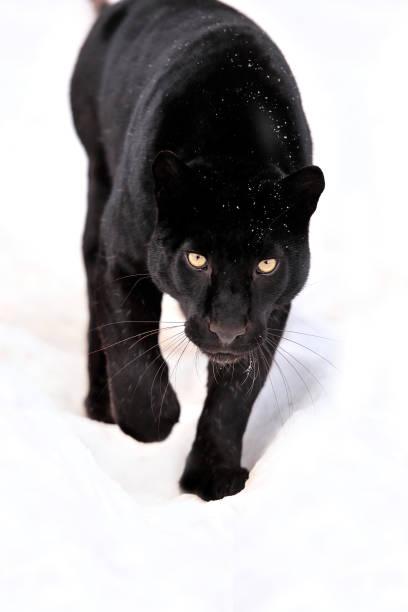 Leopard portrait圖像檔