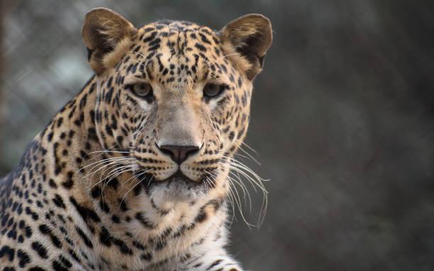 portrait de léopard - panthere noir photos et images de collection