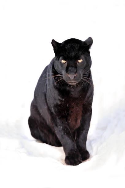 leopard portrait - black leopard stock pictures, royalty-free photos & images