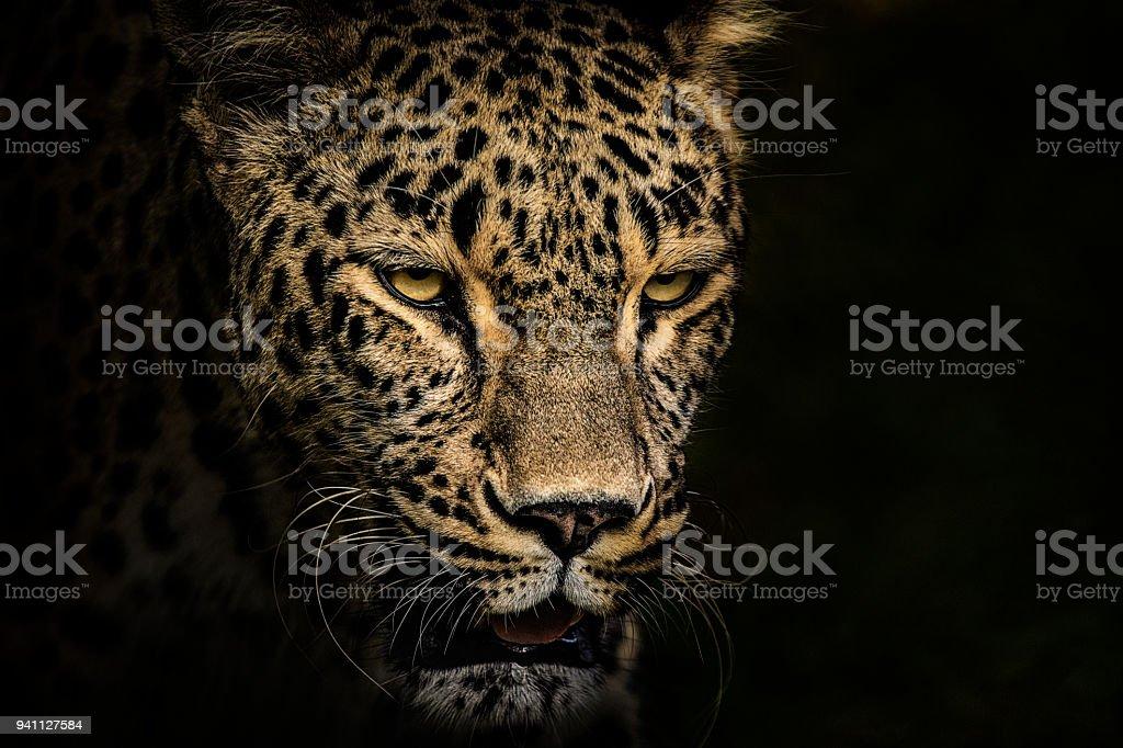 Retrato de leopardo - foto de stock