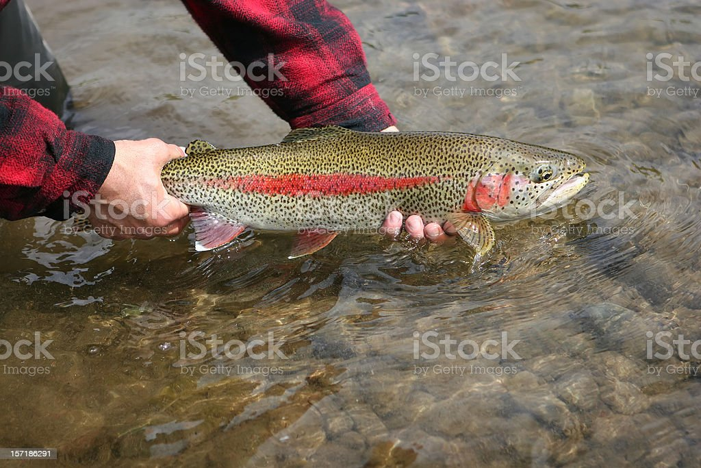 Leopard Rainbow Trout stock photo