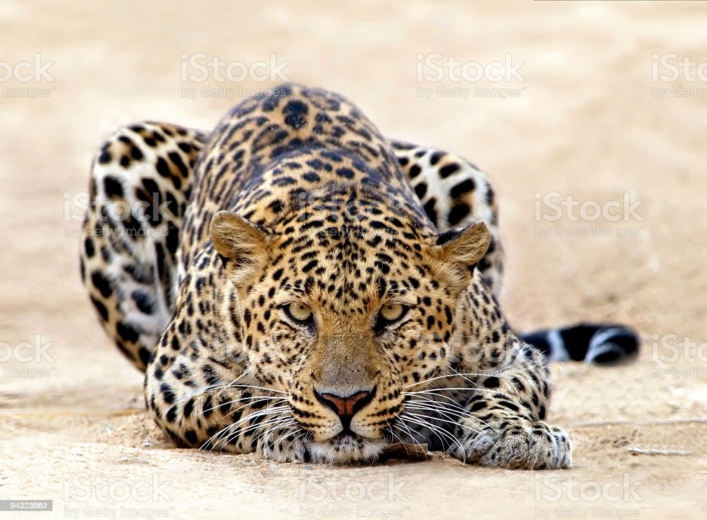 Leopard ready for attack stock photo