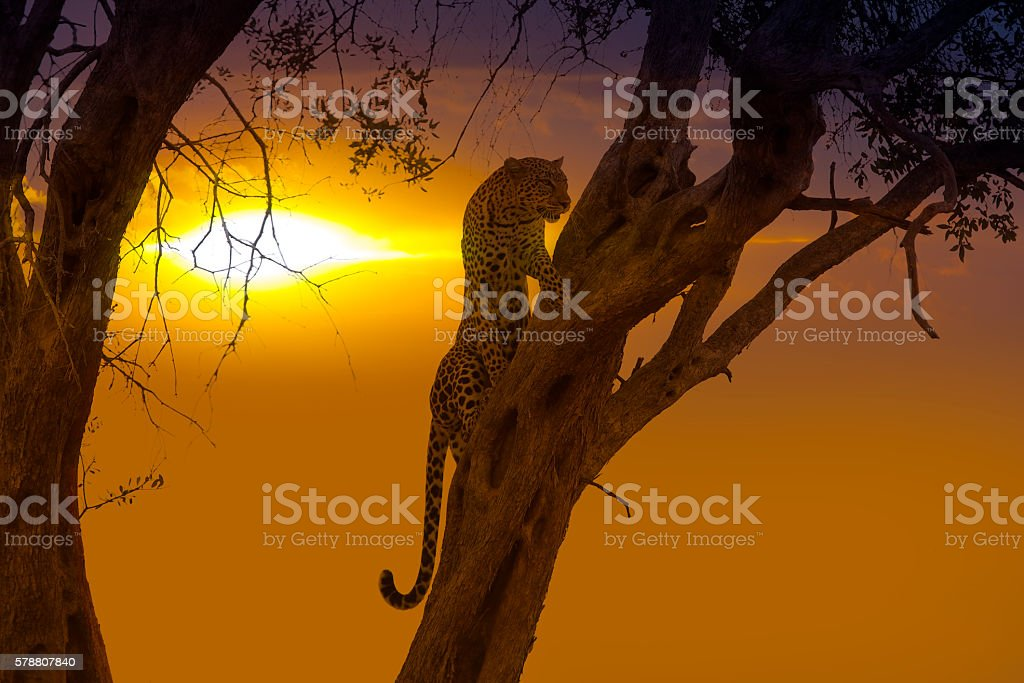 Leopard - Ready for hunting at sunset stock photo