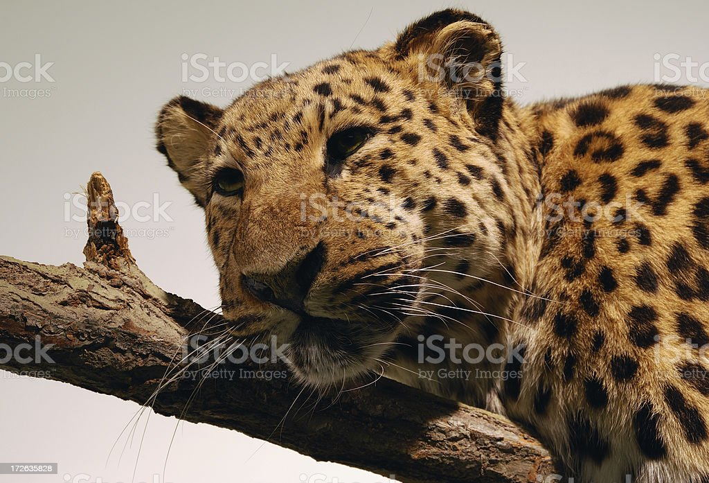 leopard relaxing royalty-free stock photo