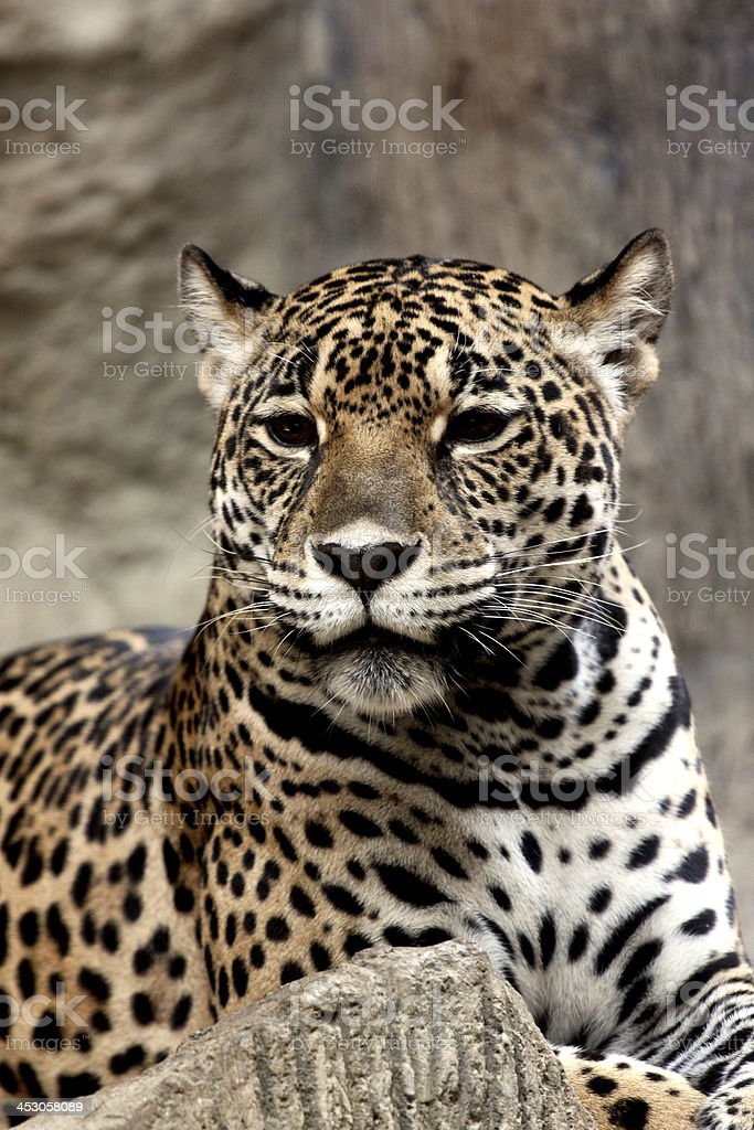 Leopard relaxing. royalty-free stock photo